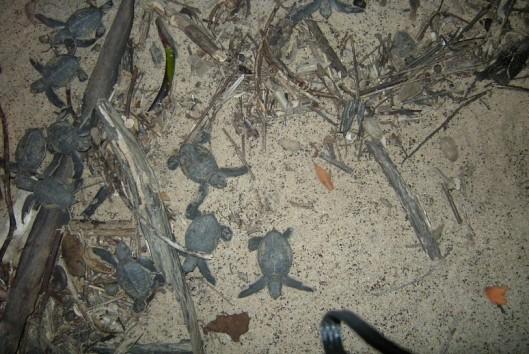 -Best of Suriname - Galibi - schilpadden kindertjes op weg naar de zee