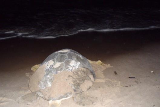 -Natuur en Avontuur - schildpad op weg naar zee na het leggen van zijn eieren op het strand