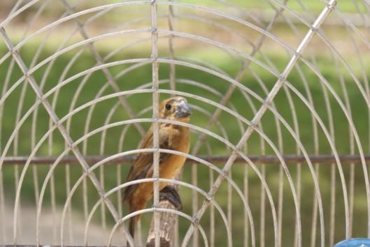 -commewijne-suriname-zangvogel