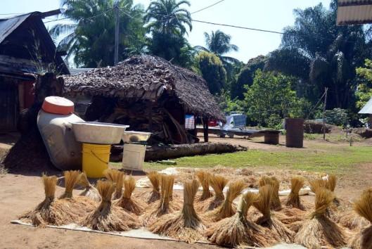 rijst oogst in het binnenland van Suriname