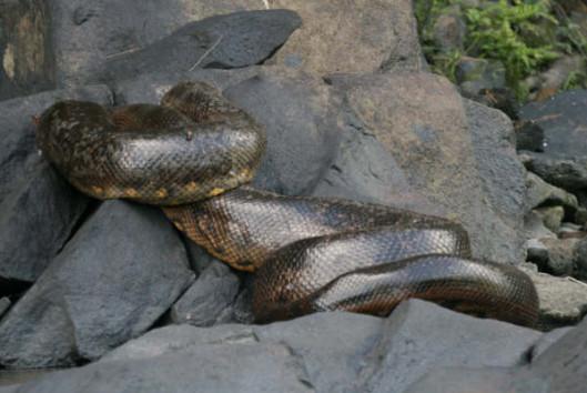 -kabalebo-nature-resort-anaconda