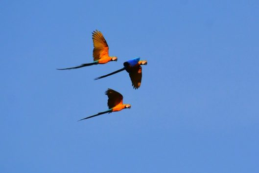 blauw-gele-ara-Ara-ararauna-blue-yellow-macaw-suriname