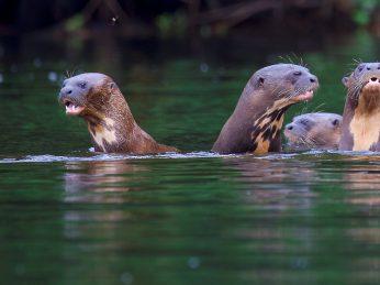reuzen-otters-suriname-michel-boeijen