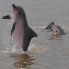 dolfijnen zwemmen