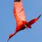 vogel suriname