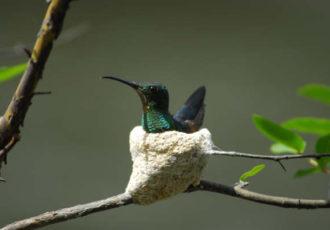 kolibrie nest