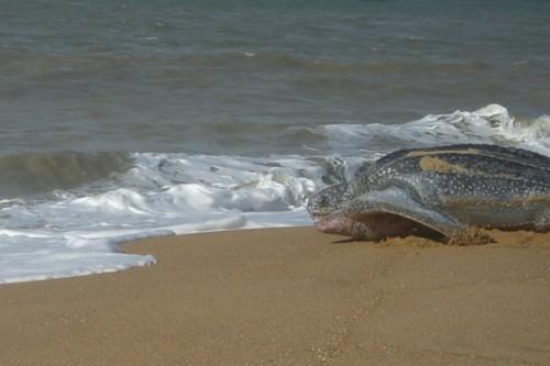 matapica schildpad