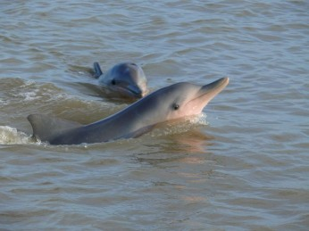 dolfijnen suriname