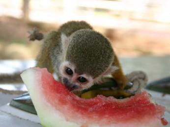 aap watermeloen suriname