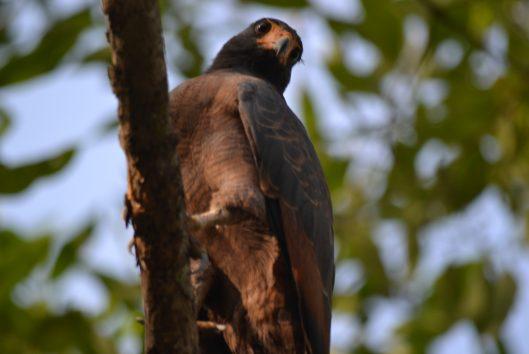 birdwatching suriname warappakreek