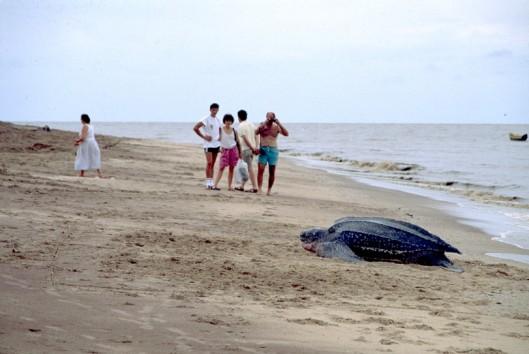 leatherback schildpad suriname