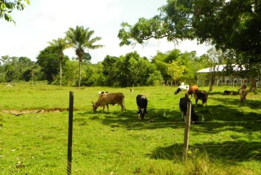 nederlandse koeien suriname