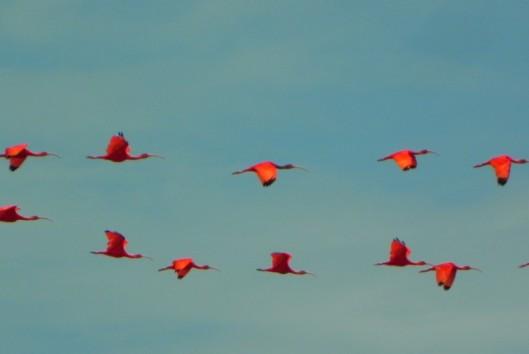 warappakreek suriname rode ibis