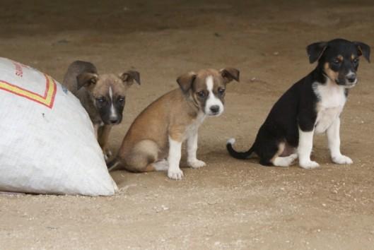 plantage peperpot kampong hondjes