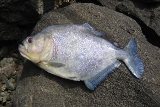 raleighvallen piranha