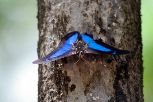 suriname vlinder