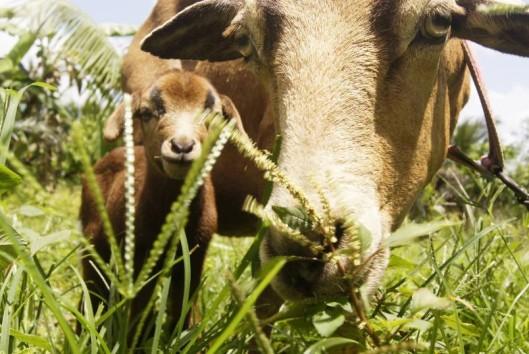 geiten suriname