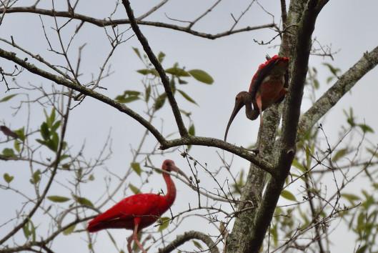 baki aliance vogels