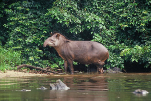 kabalebo resort suriname tapir