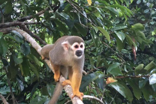 doodskop aapje
