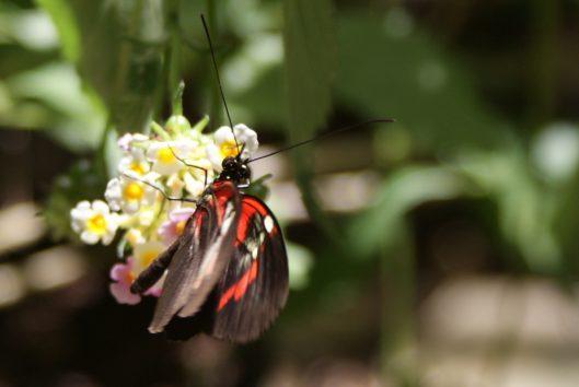 vlindertuin lelydorp suriname