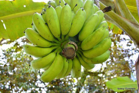 bananen suriname