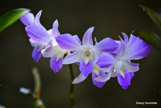 orchidee maratakka