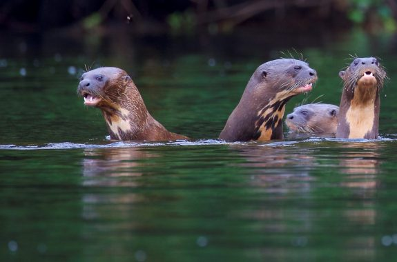 reuzen otters suriname michel boeijen