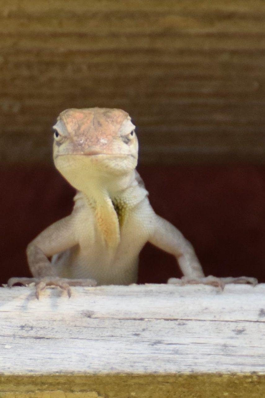 hello gorgeous lizard