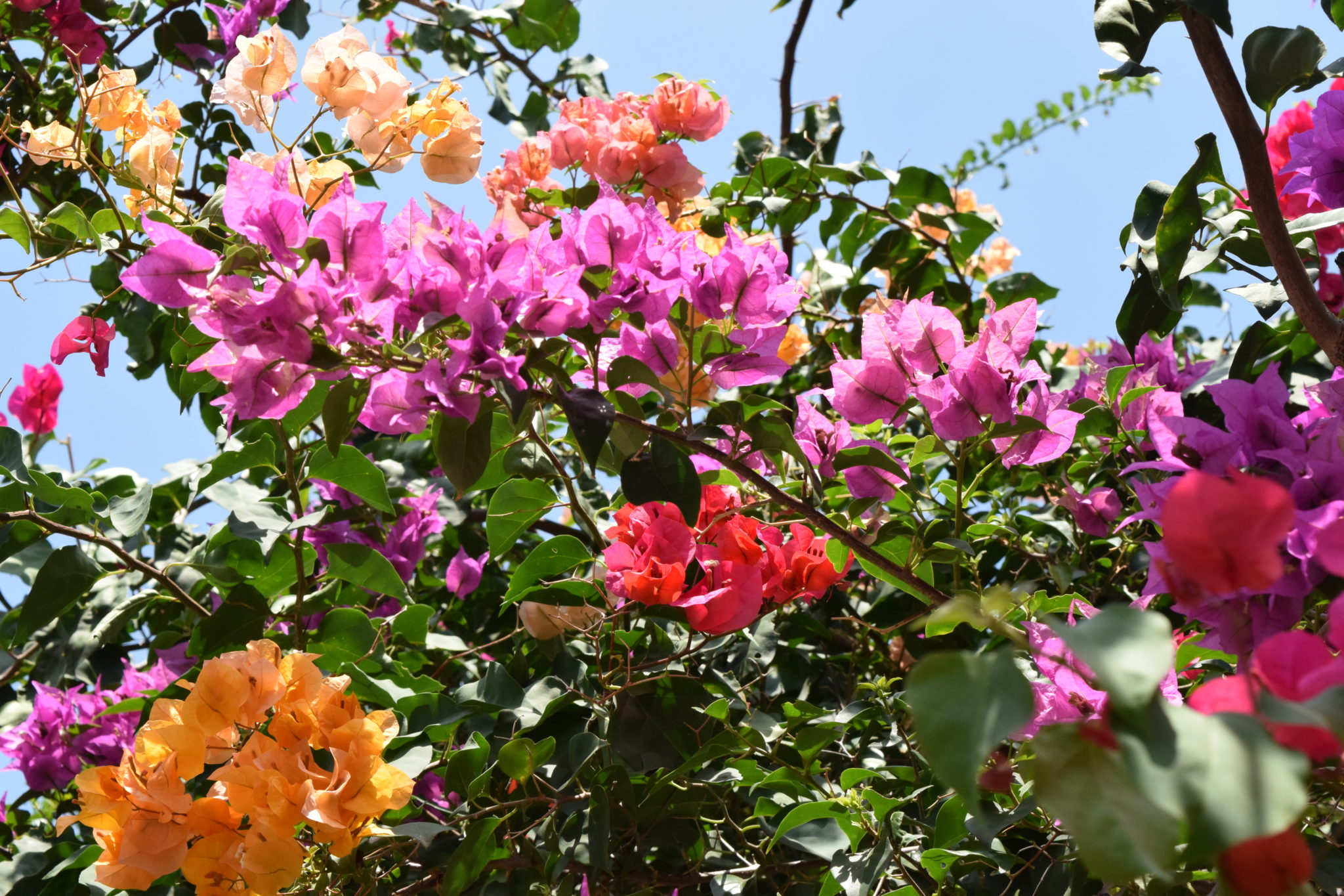 bougainville curacao