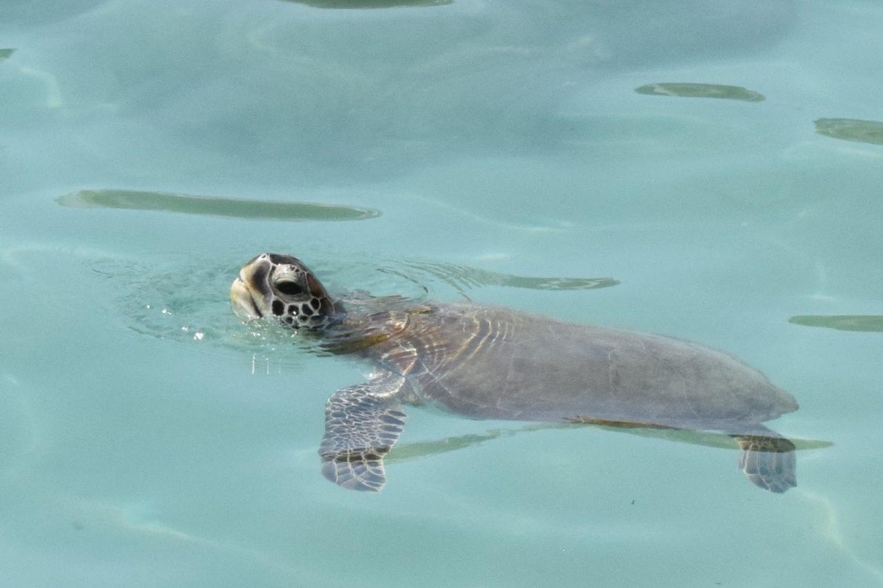 zwemmen met zeeschildpadden curacao