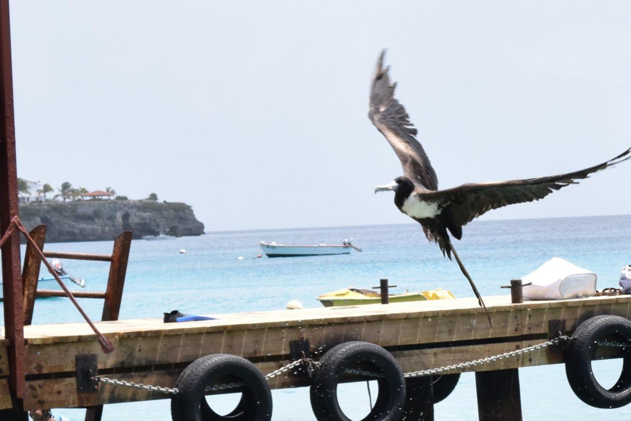 fregat vogel curacao