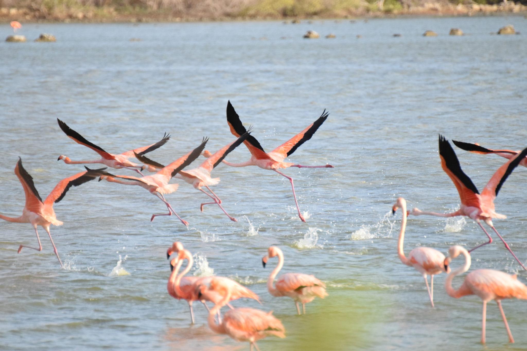 flamingo bullenbaai
