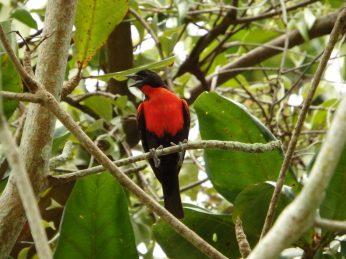 birdwatching suriname