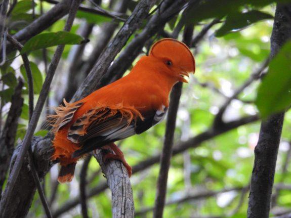 fredberg zintete suriname holidays vogels vogelkijken