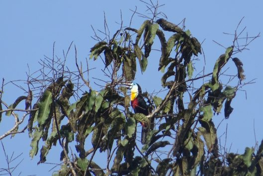 wanawiro-avanavero-suriname-birdwatching