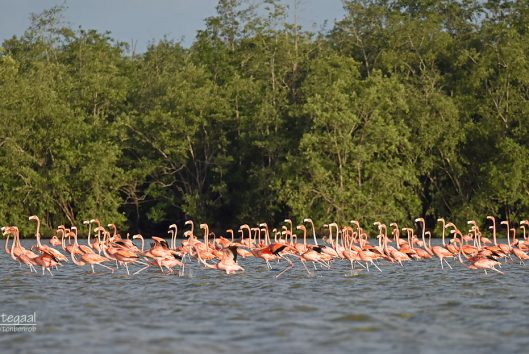 Bigi pan flamingo