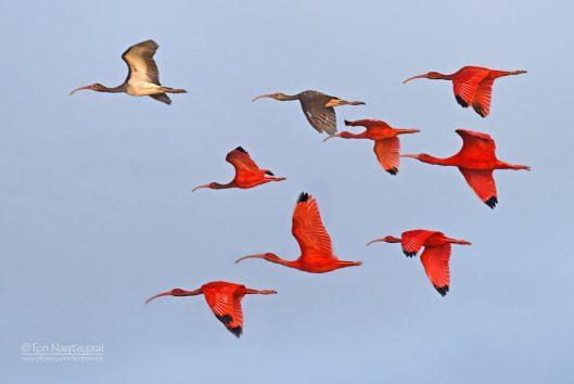 Bigi pan rode ibis