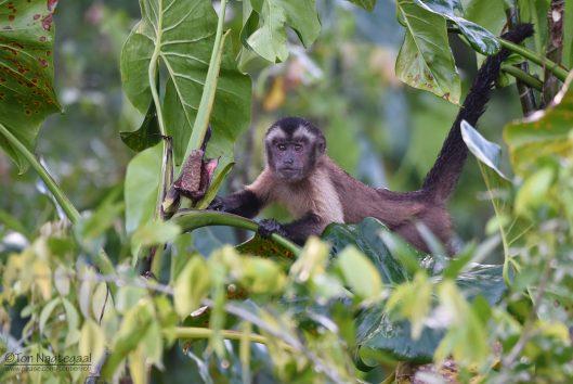 Brownsberg kapucijneraap