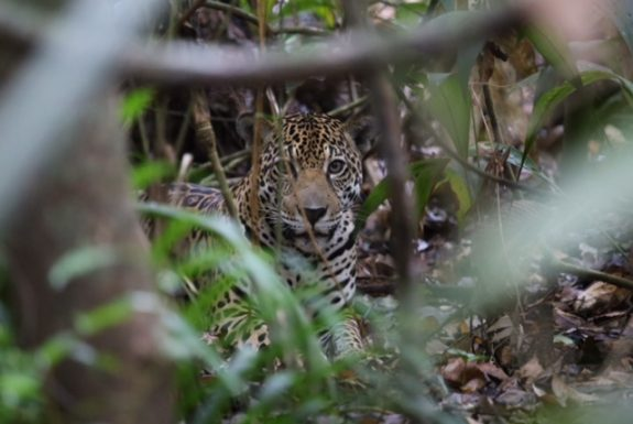 Wildlife west Suriname expeditie jaguar