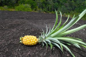 ananas oogst