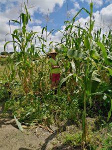 suikerriet tuin suriname
