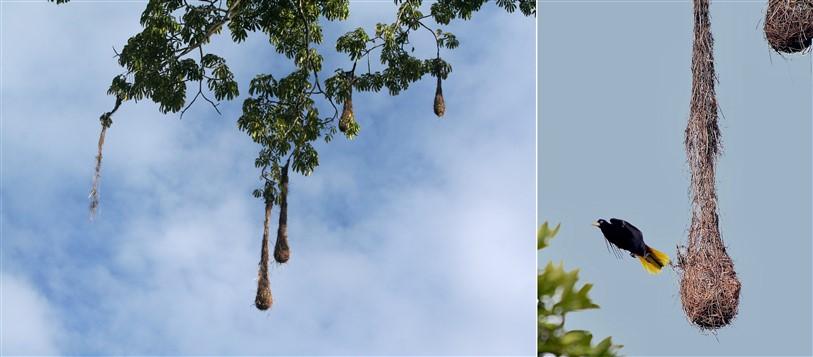 wevervogels suriname jungle