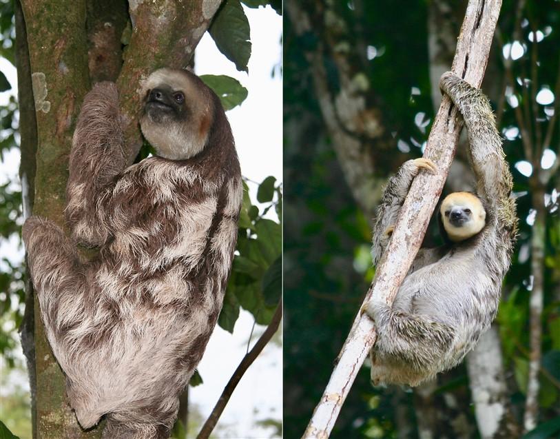 3 teen luiaarden Suriname