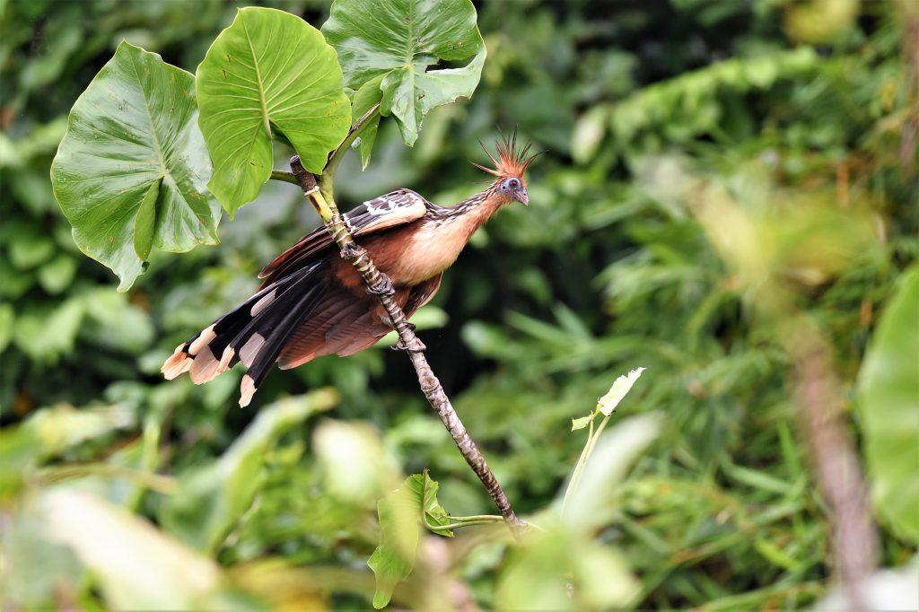 hoatzin birds of suriname