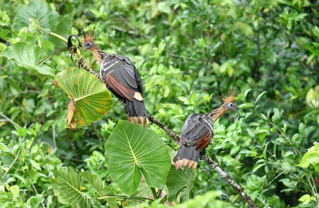 west suriname hoatzin birdwatching suriname