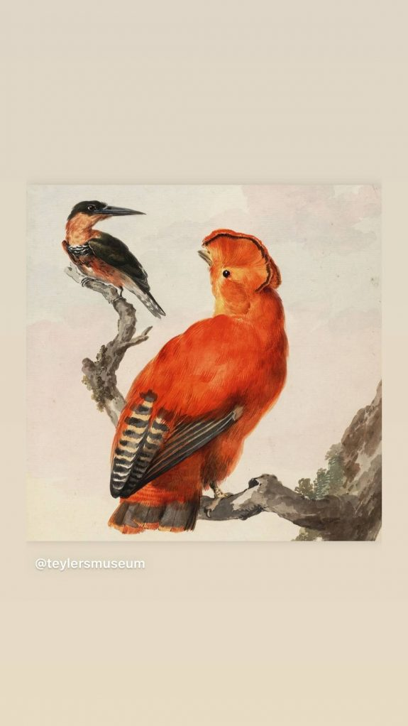 cockoftherock kingfisher aartschouman Teylersmuseumcollectie